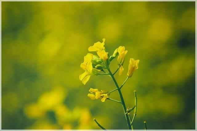 Mustard flower, SAU