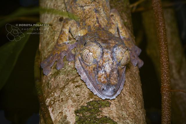 Leas-tailed gecko (Uroplatus sp.)