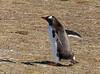 Gentoo Penguin (Pygoscelis papua) by Francisco Piedrahita