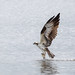 Osprey by marionhill1