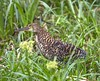 rufescent tiger-heron by hawk person