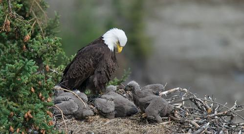 Eaglets | by kdee64