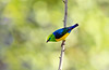 Gaturamo-bandeira - Chlorophonia cyanea - Blue-naped Chlorophonia. by Carlos Vieira.