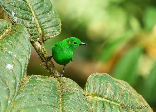 Glistening Green Tanager, Chlorochrysa phoenicotis