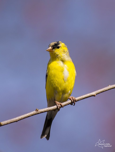 Am. Goldfinch in Transition