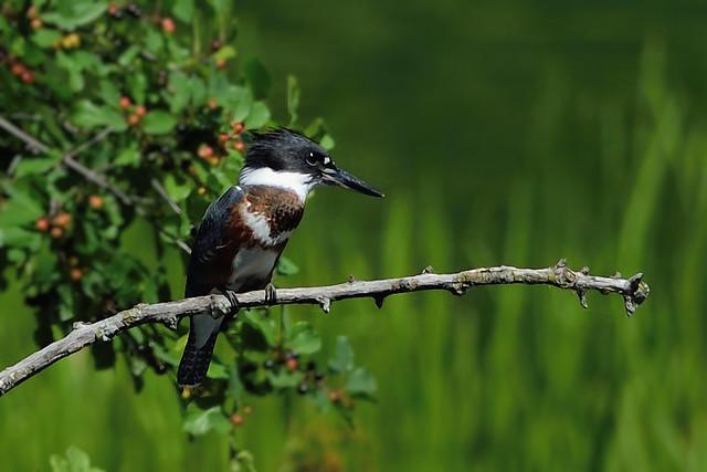 martin pêcheur d'Amérique ---  belted kingfisher --- martín gigante norteamericano