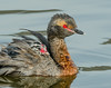 Horned Grebes - Podiceps auritus (Podicipedidae) 116v-19925 by Perk's images