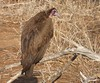Hooded Vulture by tapaculo99