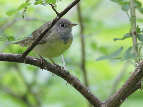 Connecticut Warbler 2-20150519 | by Kenneth Cole Schneider