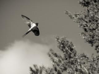 Swallow BIF in Mono   by bredmañ