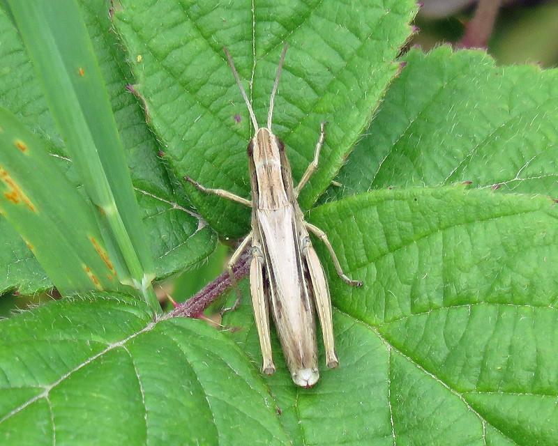 Lesser Marsh Grasshopper - Euchorthippus elegantulus