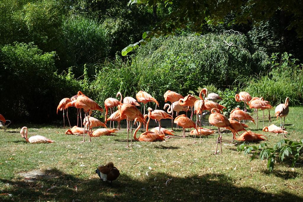 Pink Flamingos Menagerie Zoo Jardin Des Plantes Pa Flickr