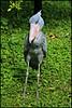 Shoebill Stork by BurstsofSingleMindedness