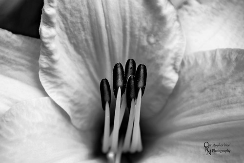 Lilium Yellow BW2 in Hafer Park in Edmond, OK - 20100611CRN | by Christopher Neel Photography