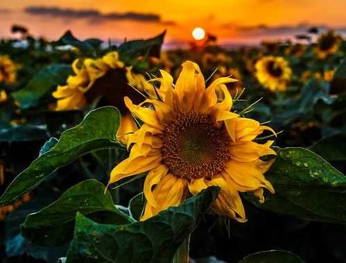 flowers sunset flower israel sunflowers sunflower