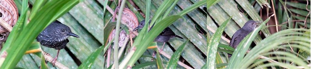 Silvered Antbird (Sclateria naevia naevia)