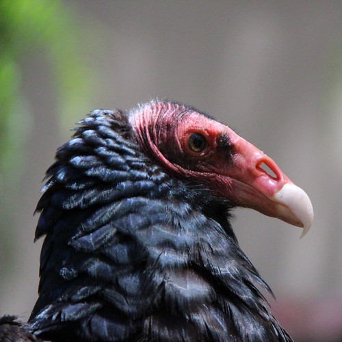 IMG_7322_Orion the Turkey Vulture