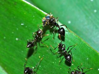 Acrobat Ants (Crematogaster sp.) | by berniedup