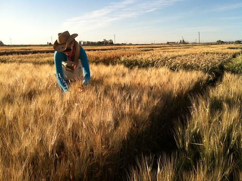 Brittany Hazard, a University of California-Davis doctoral student collecting samples from a wheat field | by USDAgov