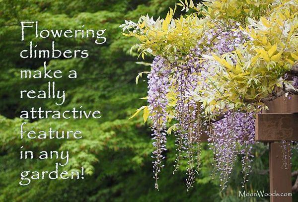 Flowering Vine Plants In The Garden From Fast Growing Vine Flickr