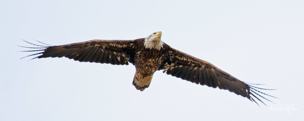 Spread Eagle | This is a sub-adult bald eagle, flying right