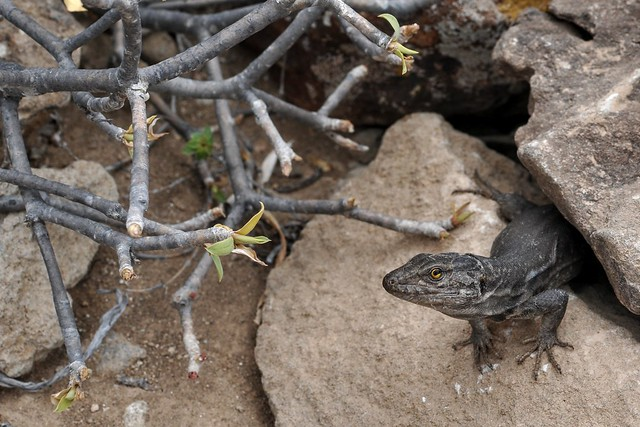 Fauna of Tenerife, Lizard