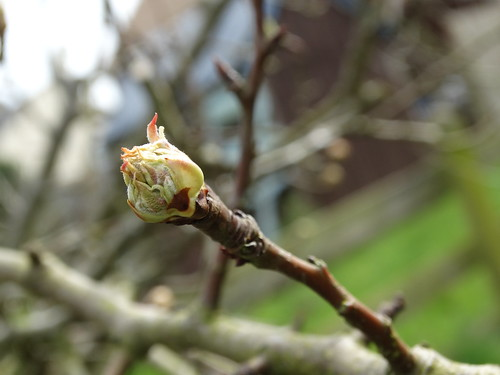 Pear Leaf Bud | by stephanellidesigns