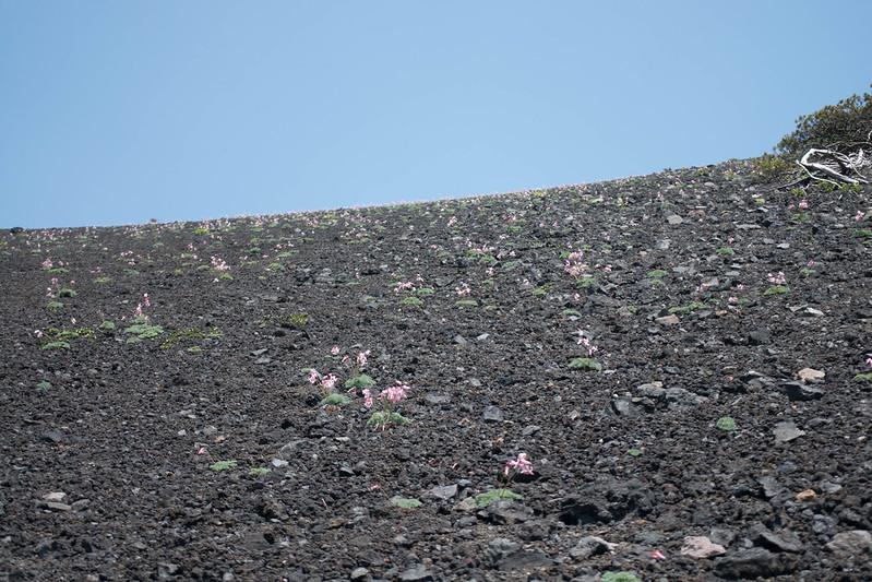 秋田駒ヶ岳のコマクサの群生