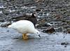 Kelp Goose (Chloephaga hybrida) by Francisco Piedrahita