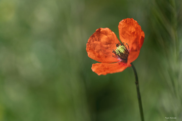 Flor de Amapola, Red poppy,