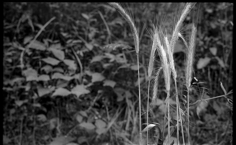 spring vegetation, grass forms, Community Park at Craggy Park, West Asheville, NC, Kodak Retina IIIc, Arista.Edu 200, Ilford Ilfosol 3 developer, 5.23.18