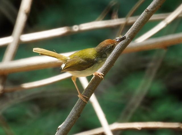 Common Tailorbird - Славка-портниха