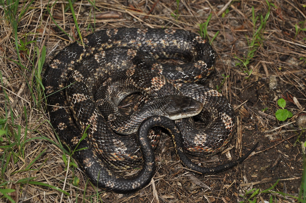 Texas Ratsnake   Pantherophis obsoletus from Travis County