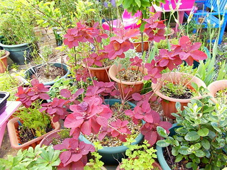 cotinus grace plant