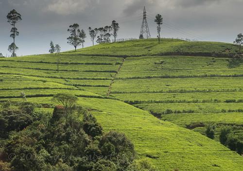 landscape tea srilanka hillcountry teabushes