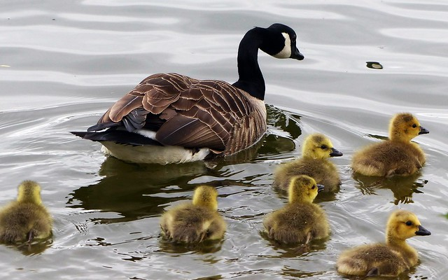 Canada Goose and her six goslings