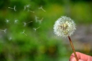 Dandelion blow | by unbekannt270