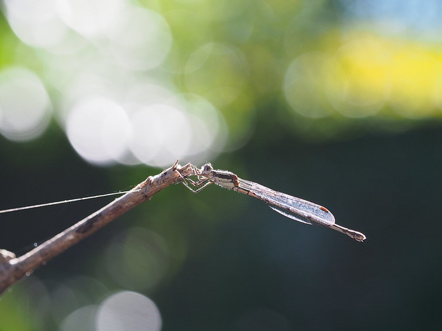 Extended twig Damselfly