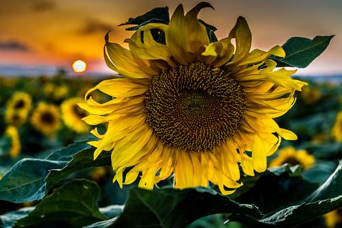flowers flower landscape israel sunflowers sunflower sunf
