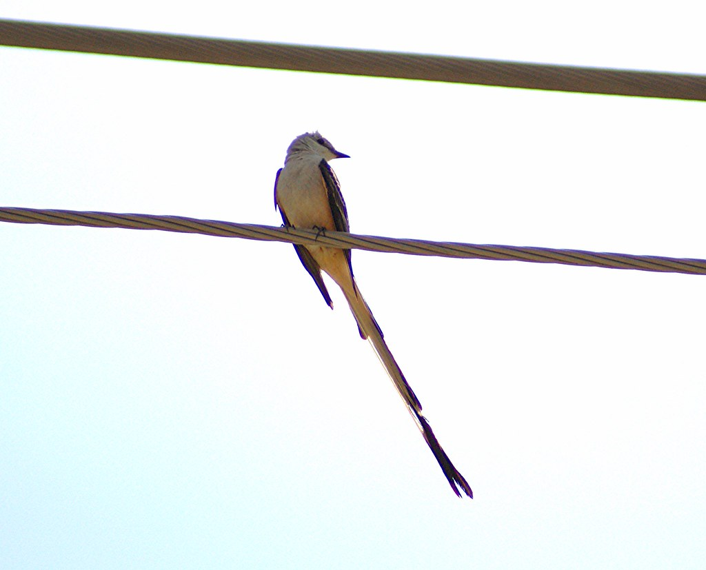 Sciscor Tailed Flycatcher