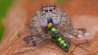 Phidippus putnami jumping spider   by Tibor Nagy