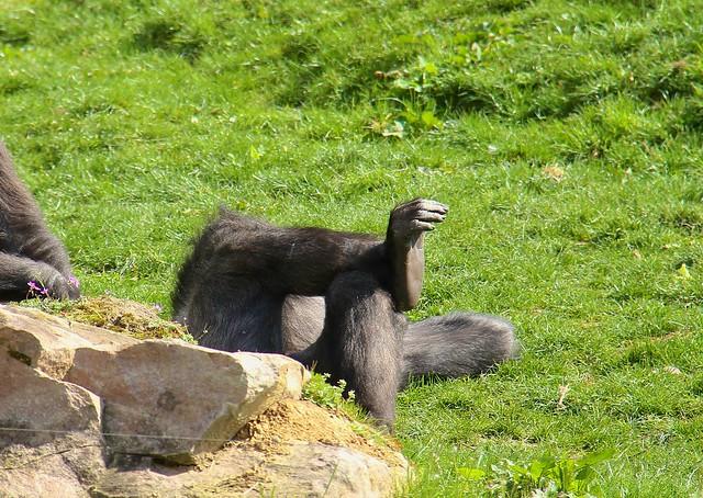 Tired Gorilla, Gorille fatigué, ZooParc de Beauval, Saint-Aignan, France.