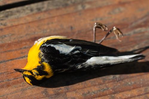 Dead Blackburnian Warbler