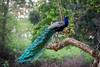 Indian Peafowl (male) aka Peacock by Nagesh Kamath