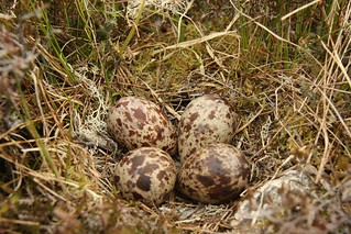 Greenshank nest (Tringa nebularia) | by abernethyimages