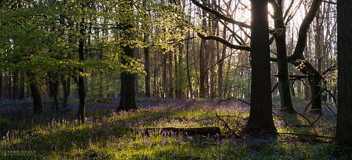 wood trees sunset england bluebells woodland unitedkingdom sony gb southoxfordshire a99 sonyalpha andyhough southoxfordshiredistrict slta99v andyhoughphotography sadlerswood