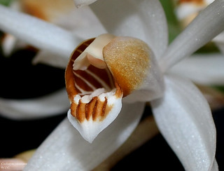 Coelogyne swaniana   by orchidfriend