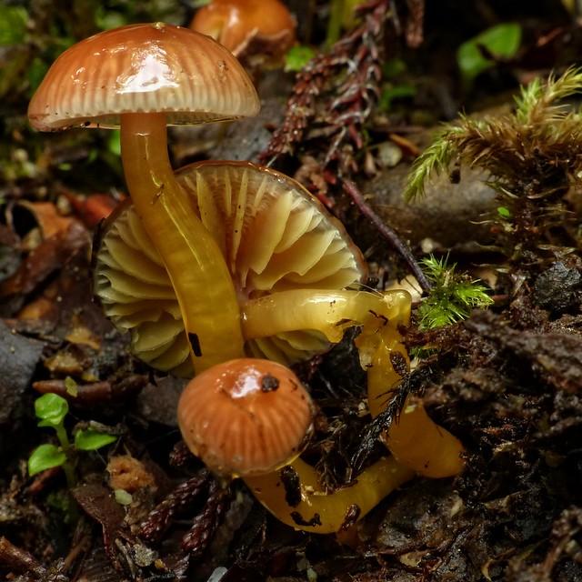 Gliophorus viscaurantius