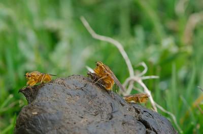 Yellow Dung Flies