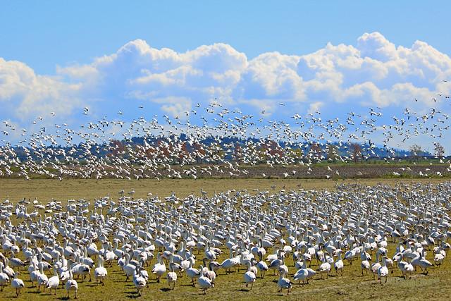 Snow Geese 15-0414-6622